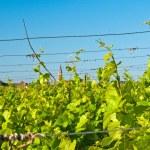 Vineyard — Stock Photo #3953970