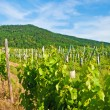 vineyard — Stock Photo #3953993