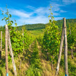 vineyard — Stock Photo #3954001