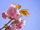 Kvetoucí třešeň — Stock fotografie