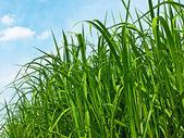 Miscanthus,switchgrass — Stock Photo