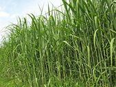 Miscanthus, switchgrass — Stockfoto