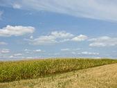 Corn,Zea mays — Stock Photo