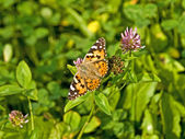 Painted lady — Stock Photo