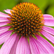 Coneflower - Stock Photo