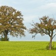 Stock Photo: Oak and apple tree