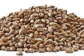 Malting barley — Stock Photo