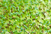 Alfalfa-sprouts — Stock Photo