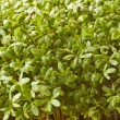 Growing Cress — Stock Photo #5175011