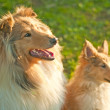 Royalty-Free Stock Photo: Collie dogs young and whelp