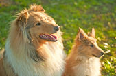 Collie dogs young and whelp — Stock Photo