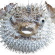 Exotic sea fish a hedgehog. — Stock Photo