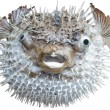 Exotic sea fish a hedgehog. - Stock Photo