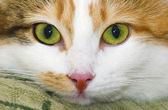 斑点的西伯利亚猫的肖像 — 图库照片