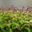 Stock Photo: Moss closeup