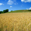 Wheat fileld in summer — Stock Photo