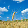 Stock Photo: Wheat fileld