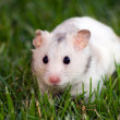 White hamster — Stock Photo