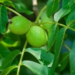 Stock Photo: Green walnut