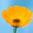 Stock Photo: CalendulOfficinalis