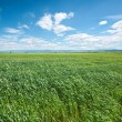 Royalty-Free Stock Photo: Green wheat field and blue sky