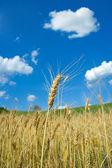 Wheat fileld — Stock Photo