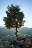 Tree on the mountain — Stock Photo
