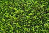 Jedle bush pozadí — Stock fotografie