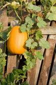 Orange pumpkin — Stock Photo