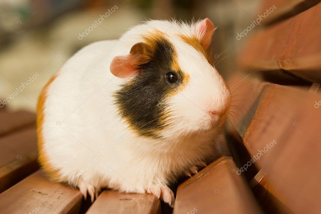 White guinea pig on brown garden bench — Stock Photo #4018240