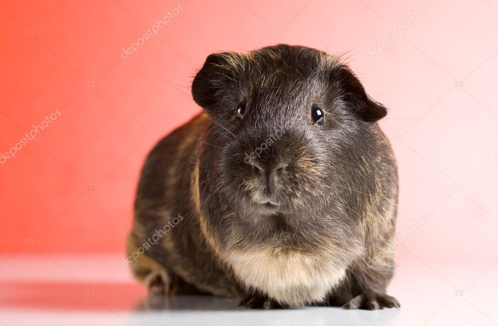 Black guinea pig sitting over red background — Stock Photo #4018528