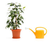 Ficus Benjamina and sprinkling can — Stock Photo