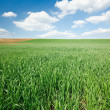 Green wheat field and blue sky — Stock Photo #4474964
