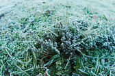 Frozen moss — Stock Photo