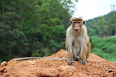 Posing monkey — Stock Photo