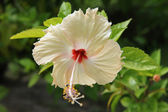 Hawaiian flower — Stock Photo