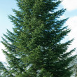 Foto Stock: Fir-tree