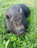 Schwein — Stockfoto