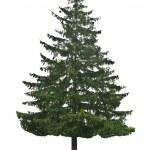 Pine tree — Stock Photo #4078362