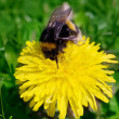 Bumble bee — Stockfoto