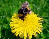 Bumble bee — Stok fotoğraf