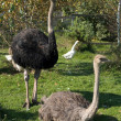 Stock Photo: Ostriches