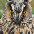 Great horned owl - Lizenzfreies Foto