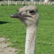 Horned ostrich — Stock Photo