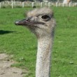 Horned ostrich — Stock Photo #4975199