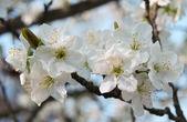 Flor de cereza — Foto de Stock