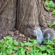 Stock Photo: a squrriel in central park new york city