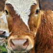 Picture close up portrait of a cow — Stock Photo