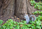 A squrriel in central park new york city — Stock Photo