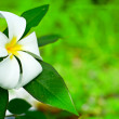 Frangipani — Stock Photo #4024030